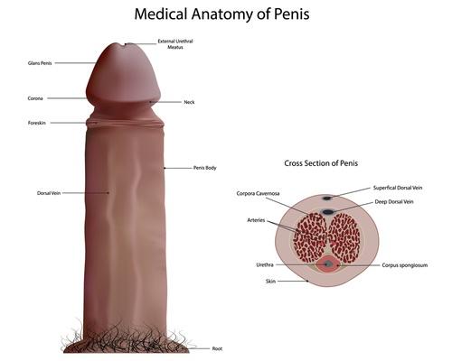 Image of penis anatomy